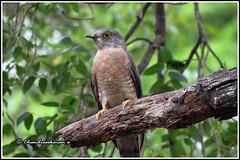 6991 - hawk cuckoo (chandrasekaran a 40 lakhs views Thanks to all) Tags: hawkcuckoo birds nature india chennai canon powershotsx60hs