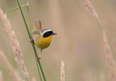 Common Yellowthroat (Eric_Z) Tags: commonyellowthroat male warbler yellow coquitlam britishcolumbia canada canoneos7dmkii ef100400mmf4556lisiiusm
