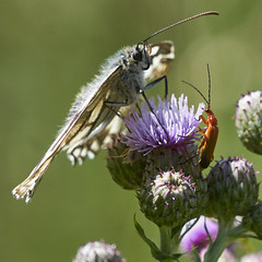 White Marbled Butterfly and Red Soldier Beetle (paulinuk99999 (really busy at present)) Tags: paulinuk99999 garden safari marbled white butterfly red soldier beetle insect uk summer july 2017 feeding sal70400g