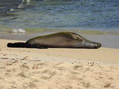 Monk seal mother & pup sleeping (Joel Abroad) Tags: kaimanabeach waikiki oahu honolulu monkseal mother pup sleeping neomonachusschauinslandi hawaiian