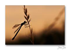 Douce nuit ... (jeremie.brion) Tags: libellule nature macro proxy contrejour