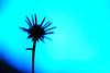 Dreaming the midnight sky (.I Travel East.) Tags: blue sky silhouette leaf louisiana dream batonrouge midnight bloom nikkor 105mm batonrougelouisiana thankyoumyfriends nikkor105mmf28vr d700 nikond700 thanksforyourgreatdedicationge dreamingthemidnightsky