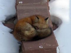 Hellems fox 1