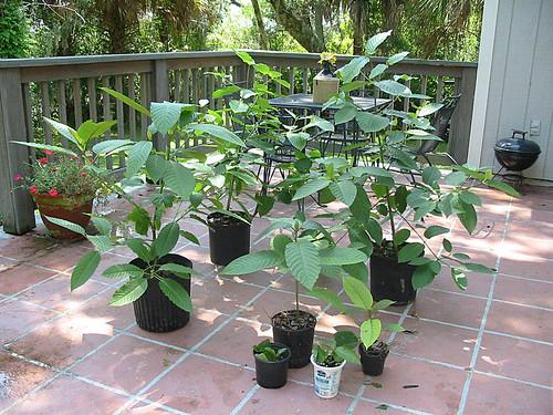 Kratom  My Kratom Plants picture photo bild