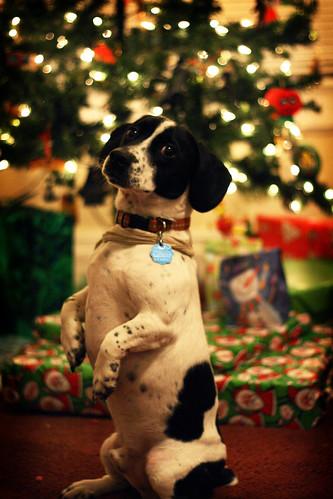フリー画像| 動物写真| 哺乳類| イヌ科| 犬/イヌ| 立ち上がる| クリスマス|     フリー素材|