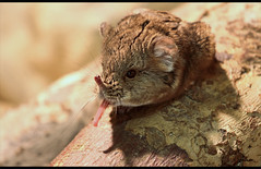 Cheeky Elephant shrew (kryyslee) Tags: travel elephant color colors animal tongue canon mouse photography eos photo foto photos couleurs picture cheeky christophe backpacker couleur shrew tier langue yawning maus zunge trompe 50d gaehnen rsselspringer 400d ruessel kryyslee christophepaquignon paquignon macroscelidea