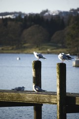 Gulls keeping warm - Waterhead, Ambleside