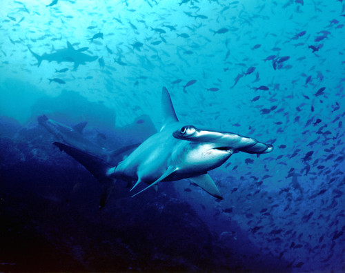 Cocos Island-sharks-protected area-seamounts-fishing