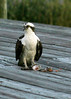 While leaving Cedar Key on SR 24, this Osprey was eating its dinner on a private dock.