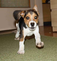 IMG_0806 (miss_verstaendnis) Tags: dog baby cute beagle play sweet hund doggie leeloo welpe beaglepuppy beaglebaby