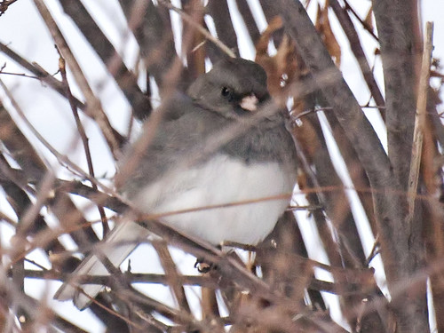 cold junco