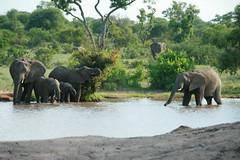 and more (lourobbo) Tags: elephant southafrica safari tandatula