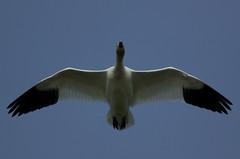 68EV0200 (sgbaughn) Tags: geese goose snowgeese snowgoose