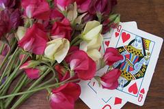 """Sweet Peas, Antique, """"Queen of Hearts"""" (reneesgarden) Tags: pink flowers red white garden antique annual queenofhearts sweetpeas seedpackets mixedcolor reneesgardenseeds reneeshepherd"""