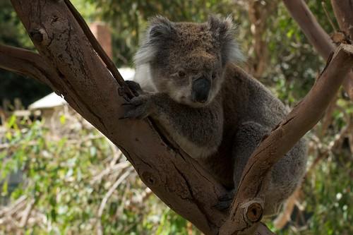 Koala at wildlife park on Philip Island