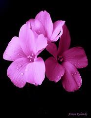 triplets (aroon_kalandy) Tags: pink light india flower nature beauty creativity bravo adobephotoshop artistic awesome greatshot impressions lovely naturelovers calicut beautifulshot specialpicture anawesomeshot malayalikkoottam sonyh50 vosplusbellesphotos aroonkalandy redmatrix theoriginalgoldseal