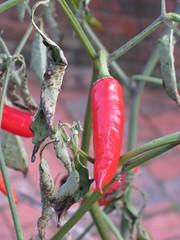 """Thai Dragon"" Chilli (magnuscanis) Tags: food garden chilli 34 rhs rosemoor a480 20091228"