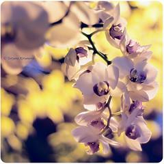 Orchidáceae