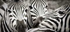 _IGP0961 (orang_asli) Tags: africa nature animals southafrica mammal nationalpark champs zebra fields imfolozi lieux afrique mammifère aficionados faune bushveld naturel zèbre afriquedusud savane parcnational géographie zbre mammifre gžographie