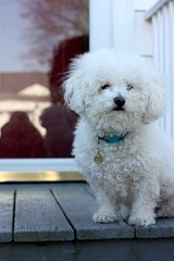 Waiting on the porch (LyddieGal) Tags: dog white puppy french chloe porch bichon bichonfrise browneyes curlyhair whitedog dogtag
