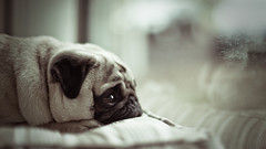 Raindrop Prelude (jms) Tags: dog pet cute miguel eyes sad pug explore wrinkles topf200 geelong dooooooogie