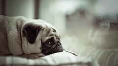 Raindrop Prelude (jæms) Tags: dog pet cute miguel eyes sad pug explore wrinkles topf200 geelong dooooooogie