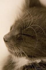 20080920_9999_234b (Fantasyfan.) Tags: sleeping pet macro cute animal topv111 closeup tag3 taggedout cat furry topv333 kitten tag2 tag1 gray fluffy tired sena satisfied outofframe fantasyfanin highqualityanimals siirretty