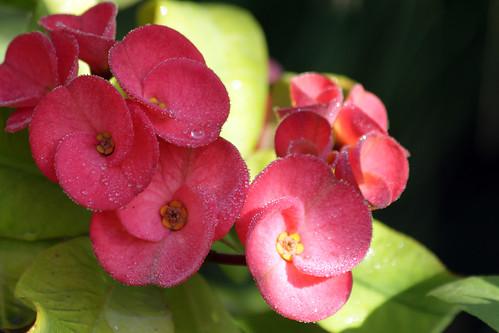Euphorbia Milly (giant variety!)