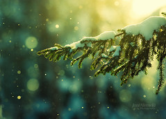 Pine Needles In The Snowfall (Joni N) Tags: blue winter cold detail green yellow pine frozen glow artistic pentax bokeh details vivid diamond pineneedles freeze glowing snowing needles sunrays snowfall flakes backlighting k10d pentaxk10d pentaxda300
