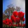 Wooden Shoe Tulips (Jesse Estes) Tags: flowers jesseestesphotography