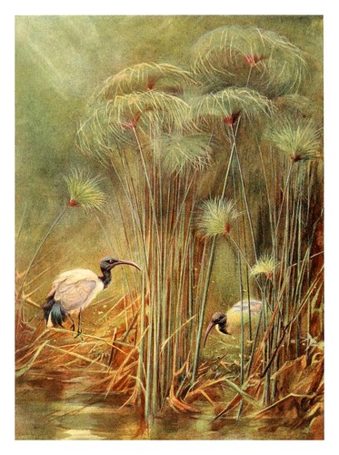 019-Ibis sagrados entre papiros-Egyptian birds for the most part seen in the Nile Valley (1909)- Charles Whymper