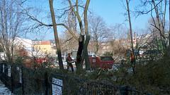 Baumfällen auf der Bautzner
