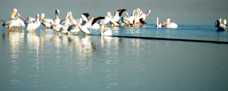 pelicans at the beach