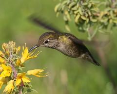 IMG_9293 (jb4boz) Tags: bird chica wetlands bolsa humming digitalcameraclub specanimal thewonderfulworldofbirds