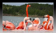 Le Maître ? (Gérard Farenc) Tags: lake birds creek flamingo lac 11 aude oiseaux étang sigean réserve flamands