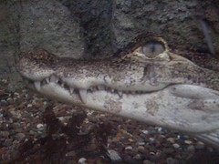 Spectacled Caiman at Lincoln Park Zoo #1