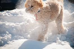 Scarce Prey of the Taiga (bpwilby) Tags: winter usa dog snow bar newjersey december nj labradoodle barney mercercounty westwindsor