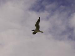 as a bird (Francesco Littmann - Doc Savage) Tags: sun bird clouds wings nuvole wind seagull wing ali cielo ala sole gaviota gabbiano uccello