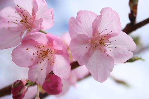 佐鳴湖の河津桜(その2)