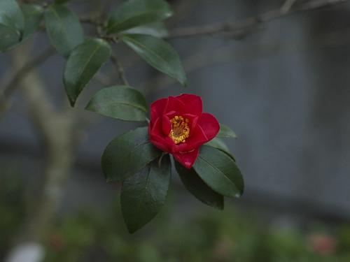 camellia in calm bokeh