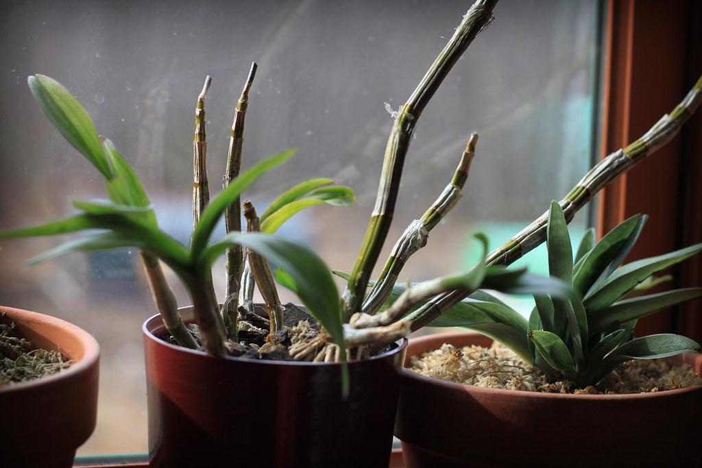 orchids 089x