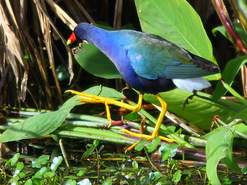 Purple Gallinule 2-20100301