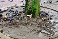 Pigeons (Michiel2005) Tags: bird birds roots vogels pidgeons pidgeon vogel duiven duif wortels