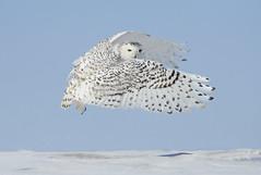 snowy owl in flight (Steve Courson) Tags: owls snowyowl snowyowlinflight stevecourson snowyowltakingoff