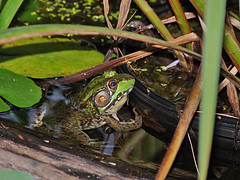 887_One Of Our Bigger Frogs (jannetie) Tags: flowers summer plants sun macro garden pond squirrels waterlily bees strawberries insects seeds bumblebee driftwood waterlilies sunflowers frogs ferns lilypads pondweed wildstrawberry sunbeams helianthus physostegia obedientplant waterlettuce mysteryplant foxtailgrass sensitivefern falsedragonhead wildsunflowers