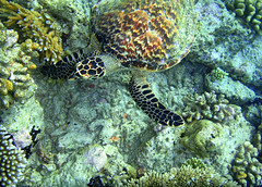 Turtle (frank_the_traveller) Tags: shark underwater diving reef maldives lionfish maldive subacquea