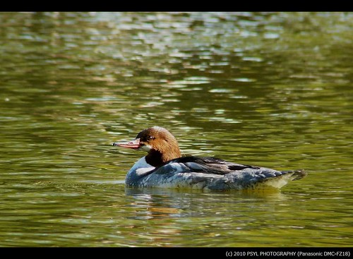 Female Common Merganser (Mergus merganser)