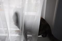 ghost cat (deftgurl) Tags: window cat rizzo
