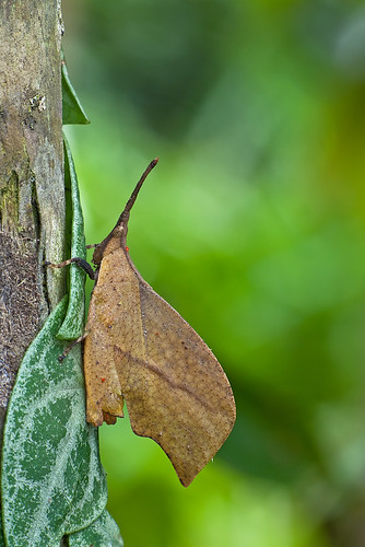 Leaf Mimic Grasshopper - male