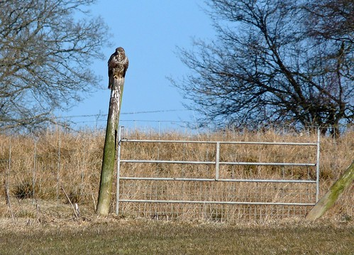12078 - Buzzard at Gigrin Farm
